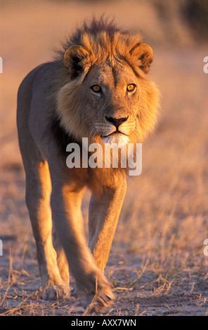 Lion, (Panthera leo), Savuti, Chobe National Park, Botswana - Stock Photo