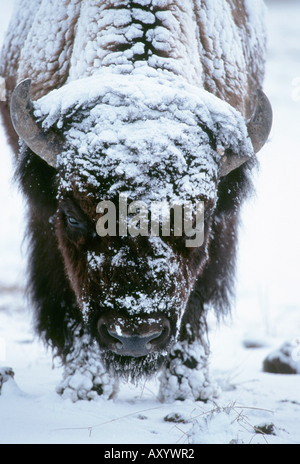 American bison, buffalo (Bison bison), potrait in snow, largest mammal of Nort-America, USA, Wyoming, Yellowstone - Stock Photo