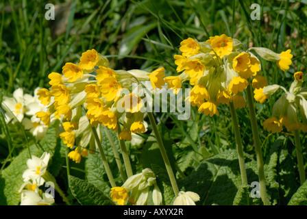 Cowslip Primula veris flowering plants in a grass bank Devon - Stock Photo