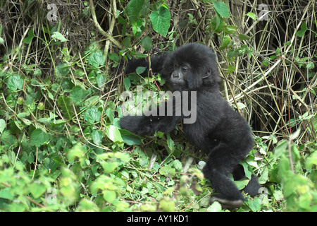 Mountain Gorilla Beringei young baby playing in bamboo forest in Parc Nationale des Volcans Rwanda Central Africa - Stock Photo
