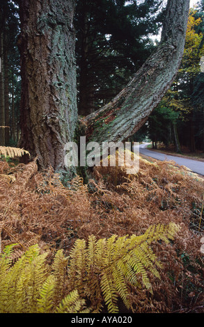 Big Old Pine Tree Trunk And Branch In The New Forest Hampshire England - Stock Photo
