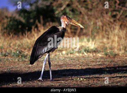 Marabou stork in the Serengeti National Park Tanzania - Stock Photo