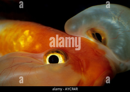 Bubble Eye Goldfish, Carassius auratus, Ciprinidae, freshewater fish - Stock Photo