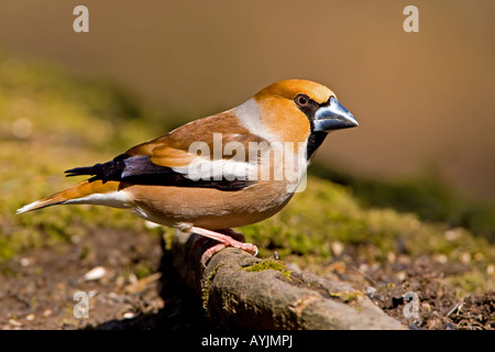HAWFINCH Coccothraustes coccothraustes Male perched on Hornbeam tree root in the Forest of Dean. - Stock Photo