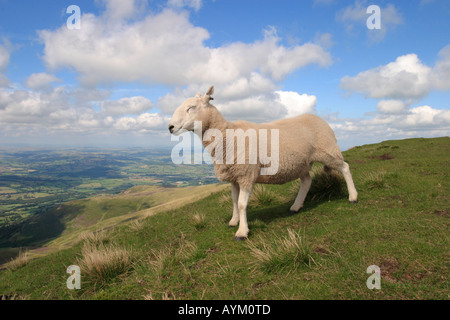 A lone sheep stands on the crest of Pen Y Fan in the Brecon Beacons South Wales - Stock Photo