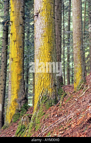 Common Spruce, Norway Spruce (Picea abies), lichen covered trunks in forest - Stock Photo