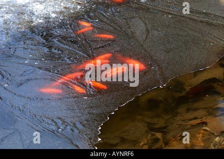 Goldfische unter der Eisdecke eines Teiches - Stock Photo