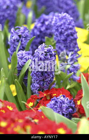 Hyazinthen und Primeln Kensington Gardens London - Stock Photo