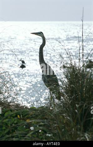 Great blue heron (Ardea herodias) Captiva Island, Florida, USA - Stock Photo