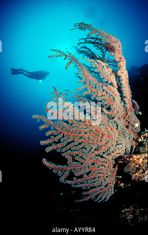 Red sea fan and scuba diver gorgonaria Papua New Guinea Pacific Ocean - Stock Photo