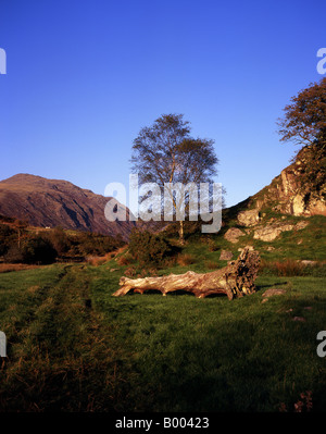 Silver Birch Tree, Betula pendula, growing on the slope of a small crag in a field near Nether Wasdale, Cumbria - Stock Photo