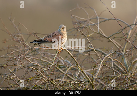 Adult male Kestrel Falco tinnunculus perched on bare branches of bush - Stock Photo