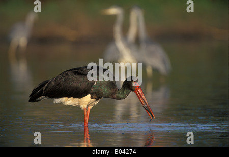 Schwarzstorch Black Stork ciconia nigra - Stock Photo