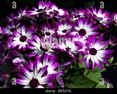 senetti magenta bicolour(pericallis) in flower - Stock Photo