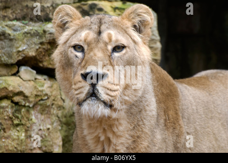 lioness looking directly at camera number 2674 - Stock Photo