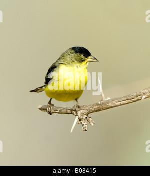 Lesser Goldfinch Carduelis psaltria Arizona USA - Stock Photo