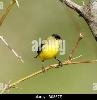 Lesser Goldfinch Carduelis psaltria - Stock Photo