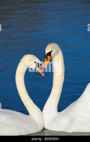 Mute Swans (Cygnus olor), courtship display - Stock Photo