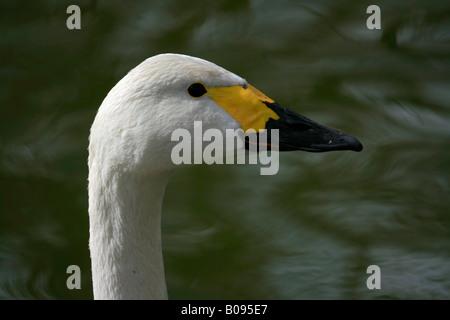 Tundra Swan (Cygnus columbianus bewickii) - Stock Photo