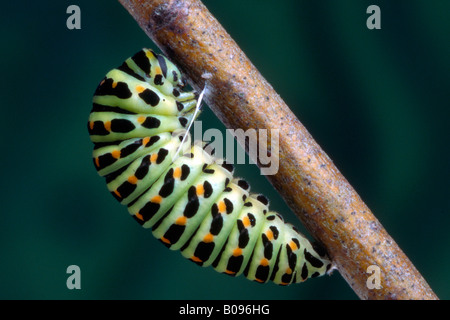 Old World Swallowtail or Common Yellow Swallowtail caterpillar (Papilio machaon), Schwaz, Tirol, Austria - Stock Photo