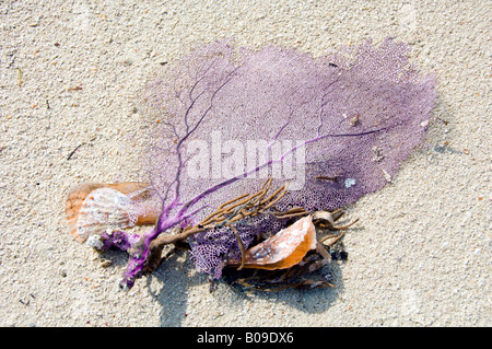 Purple colored underwater sea fans Gorgonia ventalina on the beach at Fort Jefferson Dry Tortugas National Park - Stock Photo