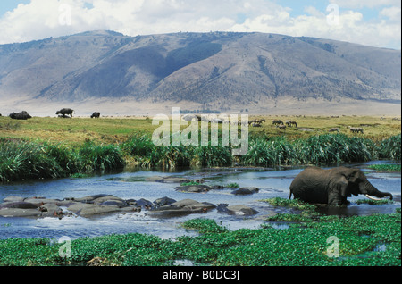 Elephant feeds in Hippo pool at Ngorongoro Crater in Tanzania Africa - Stock Photo