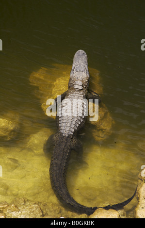 Alligator on rocks in the water at Big Cypress National Preserve Florida - Stock Photo