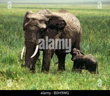 African Bush - or Savanna Elephant (Loxodonta africana) and its young, Masai Mara nature reserve, Kenya - Stock Photo
