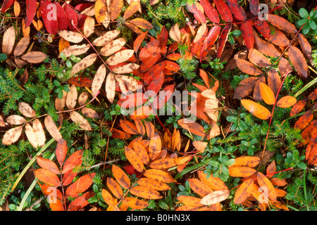 Autumn leaves of European Rowan (Sorbus aucuparia) covering the forest floor, Pragser Wildsee, Bolzano-Bozen, Italy, - Stock Photo