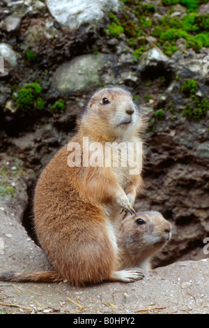 Black-tailed Prairie Dogs (Cynomys ludovicianus), Salzburg Zoo, Austria - Stock Photo
