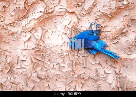 Florida Scrub Jay (Aphelocoma coerulescens), dead, lying on dried ground, Natural Bridges National Monument, Utah, - Stock Photo