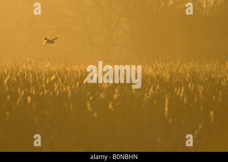 Barn owl Tyto alba hunting at dawn Norfolk England - Stock Photo