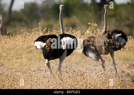 Wild animals male and female Ostriches run together through field in Savuti Area of Botswana engaged in a ritual - Stock Photo