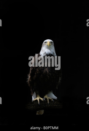 American Bald Eagle Haliaeetus leucocephalus on log - Stock Photo