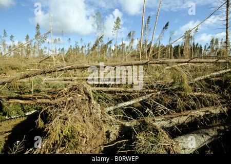 Common Spruce, Norway Spruce (Picea abies), forest damaged by wind - Stock Photo