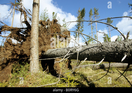 Common Spruce, Norway Spruce (Picea abies) toppled by wind - Stock Photo