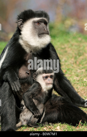 Female Mantled Guereza, Eastern Black-and-white Colobus (Colobus guereza) with young - Stock Photo