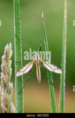 cabbage cranefly, brown daddy-long-legs (Tipula spec.), single animal on blade of grass with hoar frost, Germany, - Stock Photo