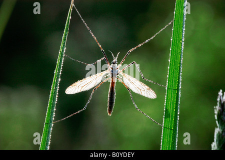 cabbage cranefly, brown daddy-long-legs (Tipula spec.), single animal on blades of grass with hoar frost, Germany, - Stock Photo