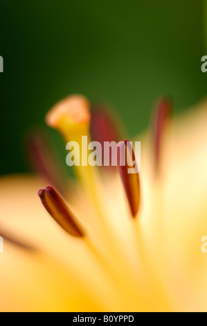 Lilie (Lilium), close up - Stock Photo