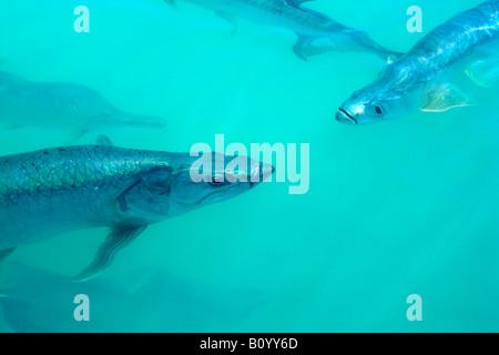 tarpon fish swimming in water near Islamorada, Florida Keys, Florida, USA - Stock Photo