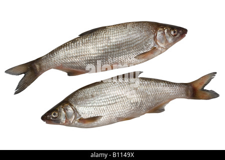Two nase fishes - Stock Photo