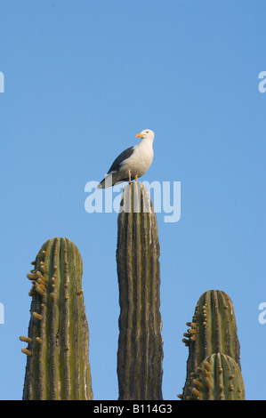 Yellow-footed Gull (Larus livens) on Cardon Cactus, Baja California MEXICO - Stock Photo