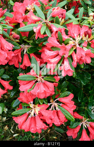 RHODODENDRON MAY DAY - Stock Photo