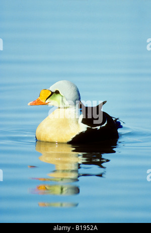 Male king eider (Somateria spectabilis) swimming in a shore lead, Banks Island, Northwest Territories, Arctic Canada - Stock Photo