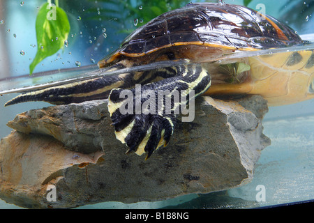 Florida Redbelly Turtle in water / Pseudemys nelsoni - Stock Photo
