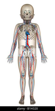 anatomy circulation skeleton - Stock Photo