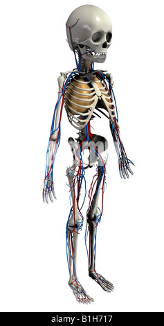 anatomy skeleton with circulation heart and lungs - Stock Photo