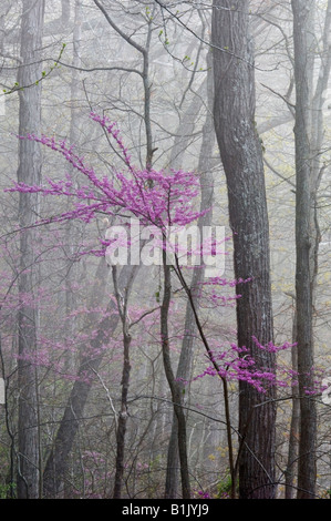 Eastern Redbud Blooming in Misty Forest Cumberland Falls State Park Kentucky - Stock Photo