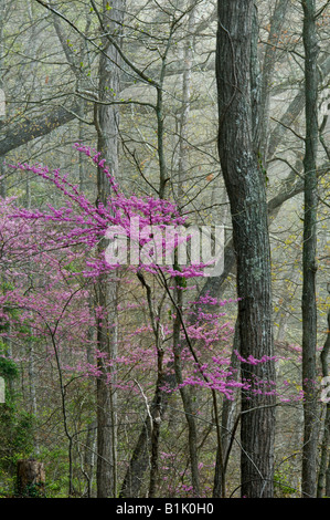 Eastern Redbud Tree Blooming in Misty Spring Forest Cumberland Falls State Park Kentucky - Stock Photo